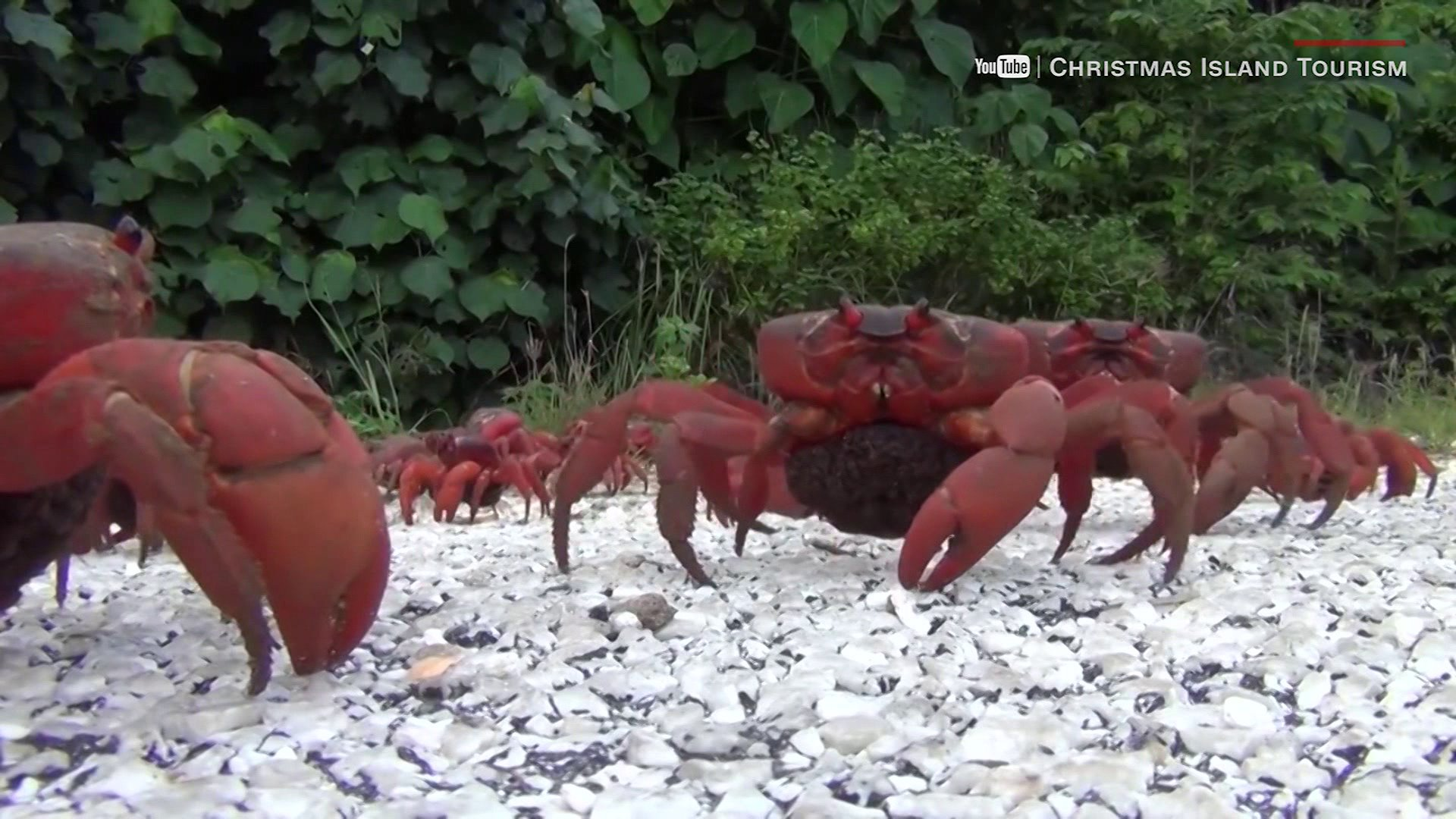 Behold! The great red crab migration down under!   CW39 Houston
