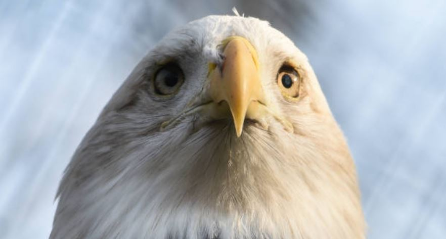 Bald eagle. Getty Images